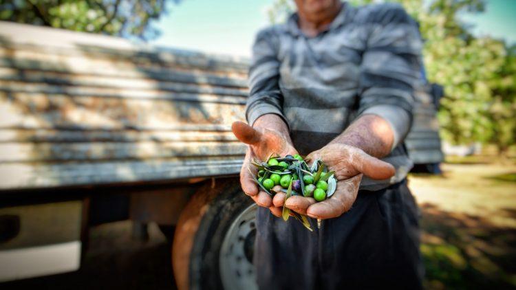 Raccolta delle Olive Salento